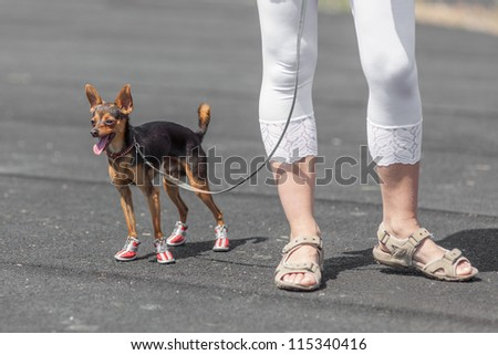 Closeup of a lady's legs wearing  sandals with her Chihuahua doggy standing near by - stock photo