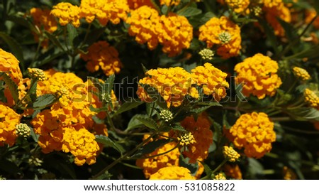 Closeup of a lantana camara flowers bush