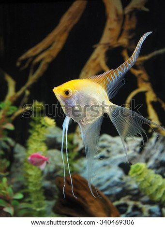 Closeup of a Large Angel Fish in an Aquarium - stock photo