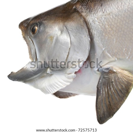 Closeup of a large Chinook/King Salmon.  Ready to take the bait or eat a fish! - stock photo