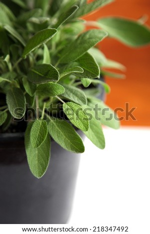 Closeup of a leaves on a sage plant with white and wood background - stock photo