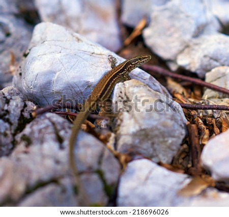 Closeup of a little brown lizard on the rocks outdoor - stock photo