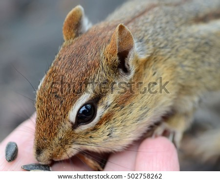 Closeup of a little chipmunk being fed by hand