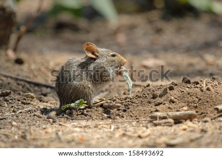 Closeup of a little field mouse eating a leaf in Serengeti National Park, Tanzania - stock photo