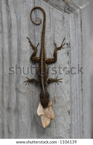 Closeup of a lizard eating a moth - stock photo