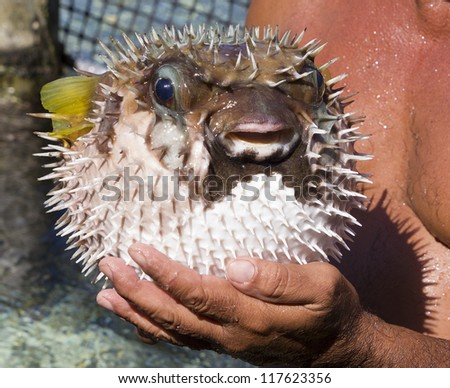closeup of a man holding a porcupine fish - stock photo