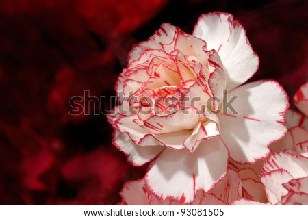 Closeup of a neautiful bi-color carnation flower white on red background - stock photo