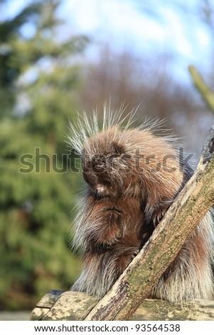 closeup of a North American Porcupine - stock photo