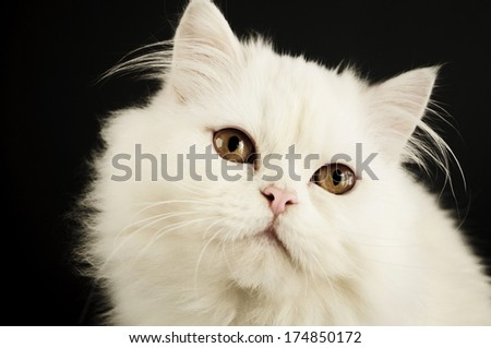 Closeup of a perfect white Persian kitten with yellow eyes - stock photo
