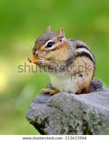 Closeup of a pudgy little chipmunk eating a piece of cantaloupe