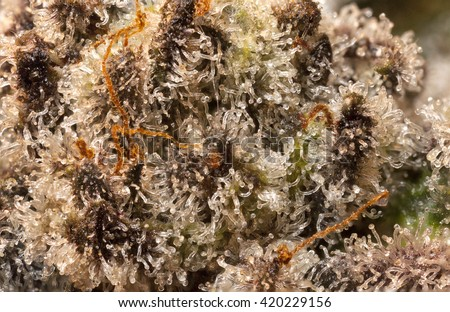 Closeup of a purple marijuana bud covered in trichomes - stock photo