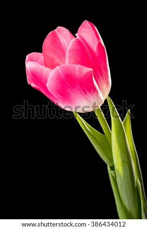 Closeup of a red common tulip on black background - stock photo