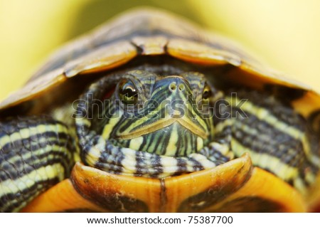 Closeup of a Red Ear Slider - stock photo