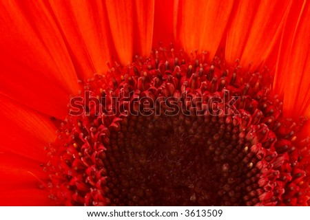 Closeup of a red gerbera, horizontal, landscape orientation - stock photo