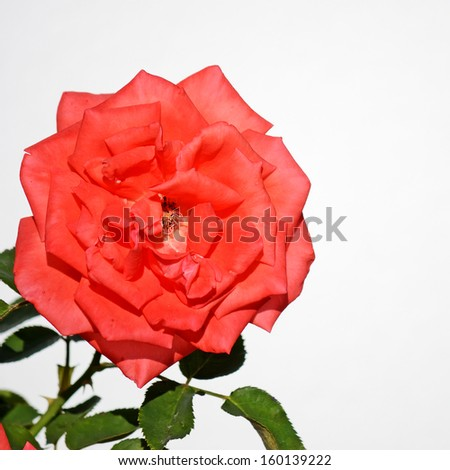 closeup of a red rose on white background - stock photo