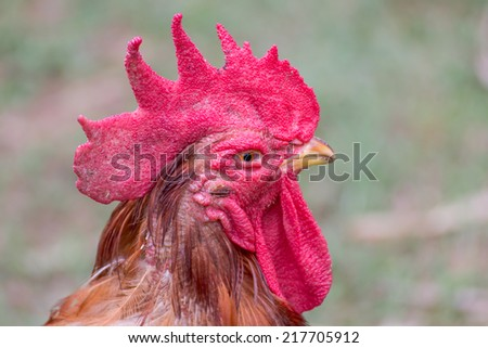 Closeup of a rooster head - stock photo