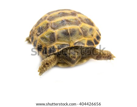 Closeup of a Russian box tortoise isolated in front of a white background.