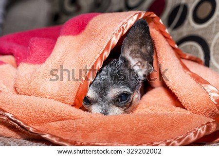 Closeup of a  sad chihuahua dog under the blanket at home - stock photo