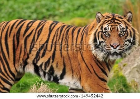 Closeup of a scary looking male Sumatran tiger looking straight at the camera - stock photo