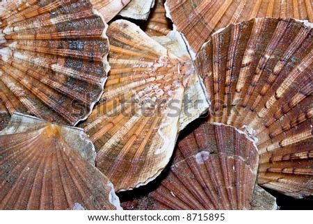 Closeup of a  seashells (sea shells), scallop - stock photo