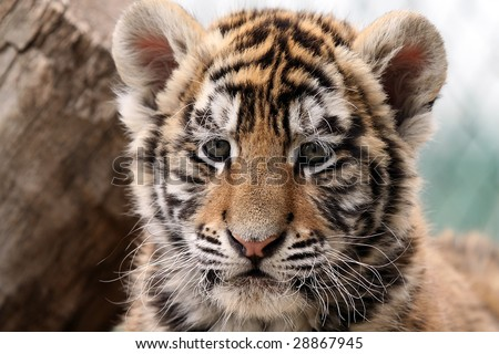 Closeup of a seven week old Siberian Tiger Cub. - stock photo