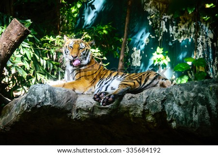 Closeup of a Siberian tiger also know as Amur tiger the largest living cat. - stock photo