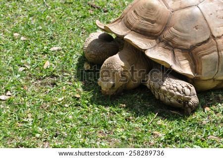 Closeup of a single African Spur Thighed Tortoise (Geochelone sulcata) eating grass in the sunlight - stock photo