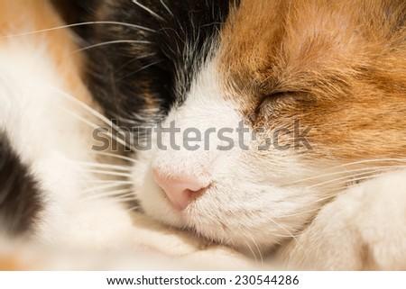 Closeup of a sleeping calico cat - stock photo