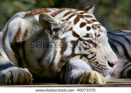 closeup of a sleepy white tiger head - stock photo