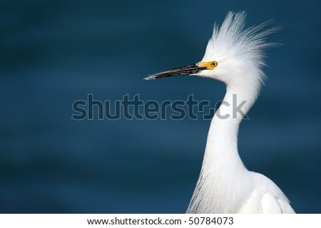 Closeup of a Snowy Egret displaying defensive behavior. - stock photo