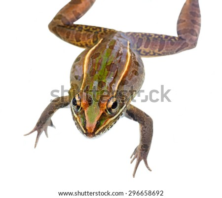 Closeup of a Southern Leopard Frog Looking at You Isolated on White - stock photo