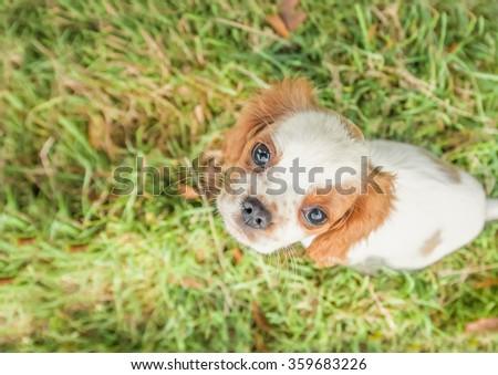 closeup of a spaniel puppy face - stock photo
