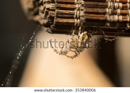Closeup of a spider on rolled wooden blinds