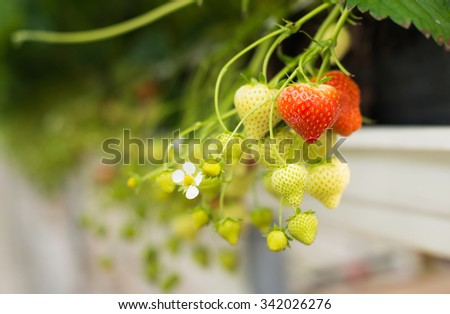 Closeup of a strawberry plant with white flowers, unripe and ripe strawberries. The plant is cultivated at ergonomic picking height in a specialized Dutch glasshouse horticulture business. - stock photo