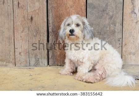 Closeup of a stray dog sitting in front of a weathered wood fence. - stock photo