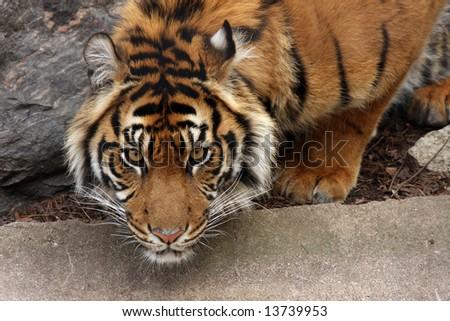 Closeup of a Sumatran Tiger - stock photo