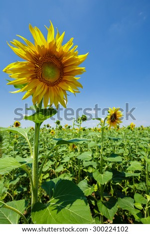 Closeup of a sunflower over blue sky and bright sunlight - stock photo