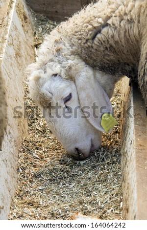 Closeup of a sweet lamb feeding at a trough - stock photo