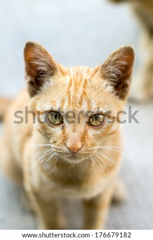 Closeup of a thai short hair cat - stock photo