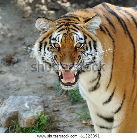 Closeup of a tiger's face with bare teeth - stock photo