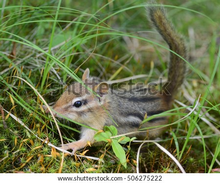 Closeup of a tiny baby chipmunk in the tall grass