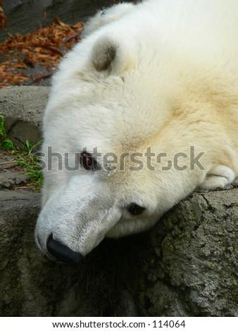 Closeup of a tired polar bear. - stock photo