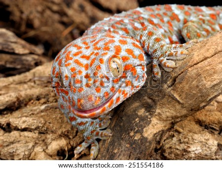 Closeup of a Tokay Gecko (Gecko gecko). - stock photo