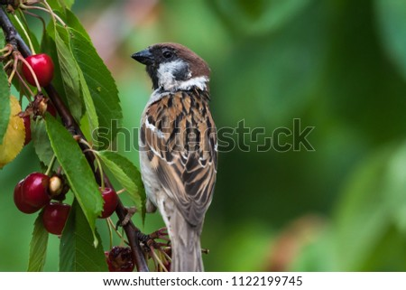 Closeup of a Tree Sparrow sitting in a cherry tree eating berries