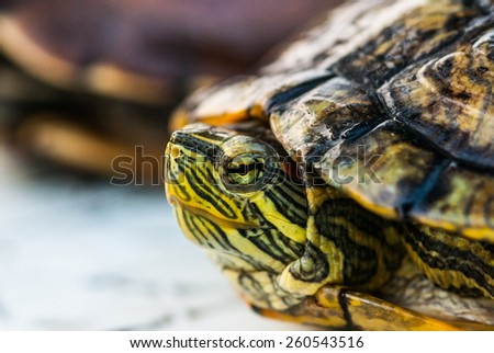 Closeup of a turtle - stock photo