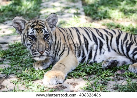 Closeup of a two year old Siberian Tiger - stock photo