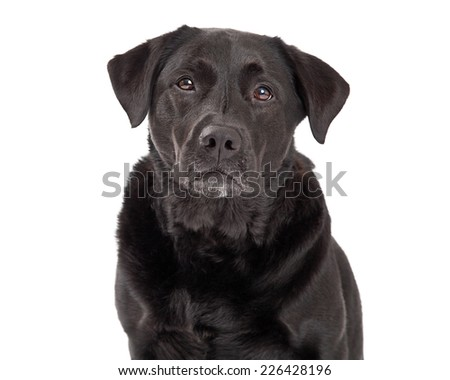 Closeup of a very serious Labrador Retriever Dog.  - stock photo