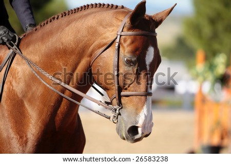 Closeup of a well-groomed horse's head in morning sunlight before the start of an early horse show (shallow focus point on side of neck and head). - stock photo