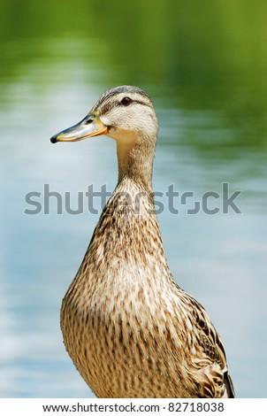 closeup of a wet black duck - stock photo