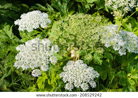Closeup of a white blooming Giant Hogweed or Heracleum mantegazzianum plant and its seed heads. - stock photo